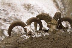 Crânios de Bharal em uma parede do abrigo do gado em Ladakh, Índia imagens de stock royalty free