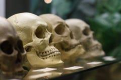 Crânios humanos Imagem de Stock
