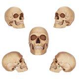 Crânios velhos Fotografia de Stock