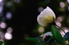 Crème bianco Rosa contro i precedenti neri, incorniciati dagli abbagliamenti di Sun Fotografia Stock
