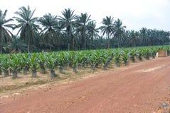 Crèche pour de jeunes arbres d'huile de palme en Malaisie Images libres de droits