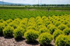 Crèche pour le cèdre Thuja vert naturel de conifère plantant le jardin extérieur image stock