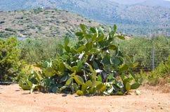 Crète élèvent beaucoup de différents genres de cactus Photographie stock