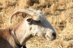 Crète/chèvre Photographie stock libre de droits