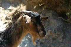 Crète/chèvre Photo libre de droits