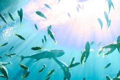 Créatures de mer à l'aquarium Etats-Unis de la Géorgie avec des plongeurs autonomes dans le réservoir Photo libre de droits