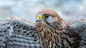 Crécerelle commune, oiseau de proie photographie stock libre de droits