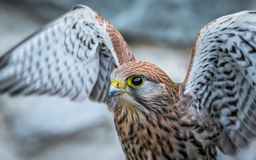 Crécerelle commune, oiseau de proie image stock