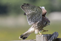 Crécerelle commune (tinnunculus de Falco) Images libres de droits