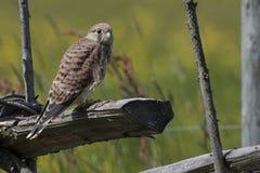 Crécerelle commune (tinnunculus de Falco) Photo libre de droits