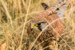 Crécerelle commune, un des oiseaux de la proie les plus communs photo stock