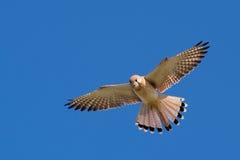 Crécerelle de nankin dans le ciel Photos libres de droits