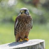 Crécerelle, oiseau de proie Photographie stock libre de droits