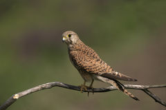 Crécerelle, tinnunculus de Falco Images libres de droits