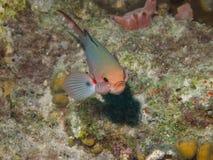 Créole-poissons avec le parasite 01 d'Isopod Image libre de droits
