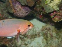 Créole-poissons avec le parasite 02 d'Isopod images stock