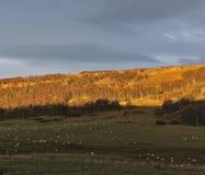 Crépuscule d'agneaux Photos libres de droits