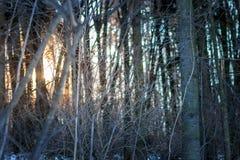 Crépuscule dans la forêt d'hiver Photos stock