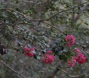 Crêpe fuchsia Myrtle Blooms Images libres de droits