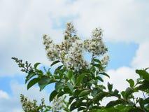 Crêpe le Myrte blanche de Natchez Photographie stock