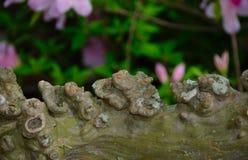 Crêpe nouée Myrtle Branch photo libre de droits