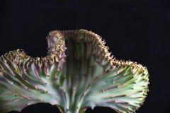 Crête de corail d'Eurphorbia Lactea de cactus d'isolement au-dessus du noir Image libre de droits