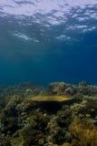 Crête de récif coralien sous la surface Photos libres de droits