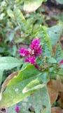 Crête, fleur chinoise de laine, argentea de Celosia Photo stock