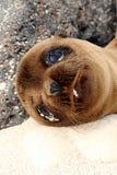 Cría de foca Fotos de archivo