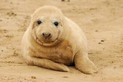 Cría de foca Imágenes de archivo libres de regalías