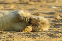 Cría de foca Foto de archivo