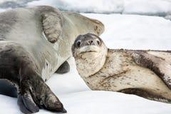 Cría de foca Imagen de archivo