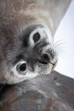 Cría de foca cerca de la mama Foto de archivo