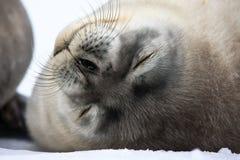 Cría de foca cerca de la mama Imagenes de archivo