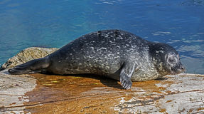 Cría de foca común Imagen de archivo