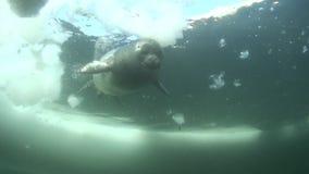 Cría de foca de Baikal metrajes