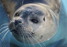 Cría de foca de puerto Fotos de archivo