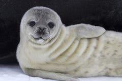 Cría de foca de Weddell cerca de la hembra en el hielo Fotografía de archivo libre de regalías