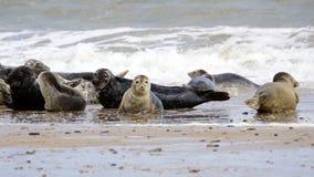 Cría de foca en la playa Imagenes de archivo
