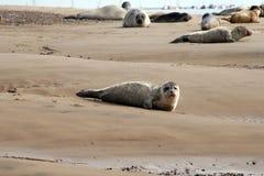 Cría de foca en orilla Fotografía de archivo libre de regalías