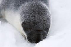 Cría de foca encapuchada Foto de archivo libre de regalías