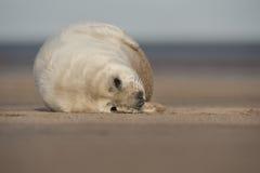 Cría de foca gris Imagen de archivo libre de regalías