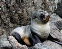 Cría de foca gris del bebé que miente en las rocas Fotos de archivo