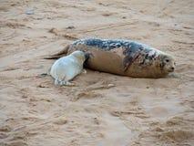Cría de foca gris de la lactancia con su madre foto de archivo libre de regalías
