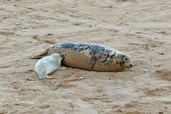 Cría de foca gris de la lactancia con su madre foto de archivo