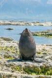 Cría de foca linda en la costa fotos de archivo