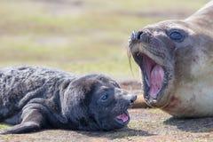 Cría de foca meridional recién nacida de elefante (leonina del Mirounga) y es m imagenes de archivo