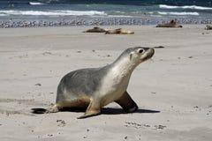 Cría de foca (Neophoca cinerea) Foto de archivo libre de regalías