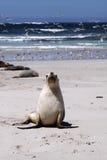 Cría de foca (Neophoca cinerea) Imagenes de archivo