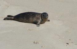Cría de foca pacífica de puerto Imágenes de archivo libres de regalías